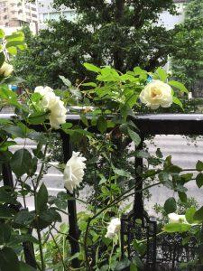 白薔薇曇り